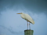 An Egret on a Pier in Key Largo  Florida