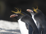 Close Up of Macaroni Penguins  Eudyptes Chrysolophus