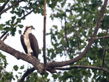 An Osprey in a Tree Near the Occoquan Bay National Wildlife Refuge