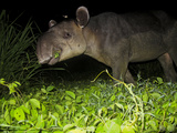 A Tapir Eating Vines in a Jungle Clearing