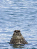 Nose of a Southern Elephant Seal Bull Surfacing to Breathe