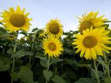 Sunflowers on Cape Breton Island
