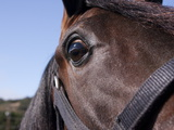 Close Up of an Arabian Horse's Face  Wearing a Bridle