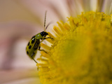 Spotted Cucumber Beetle  Diabrotica Undecimpunctata  on a Flower