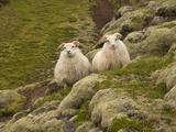 Sheep Grazing Along the Skogar River