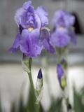 Irises Blooming in a Yard in Durango  Colorado