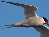 An Antarctic Tern  Sterna Vittata  in Flight Off Tristan Da Cunha