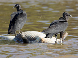 Black Vultures Feeding on a Dead Spectacled Caiman