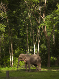 An Asian Elephant  Elephas Maximus  Standing in a Wooded Setting