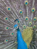 Portrait of a Captive Male Indian Peacock  Pavo Cristatus