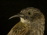 A Mayr's Rufous-Backed Honeyeater from New Guinea's Foja Mountains