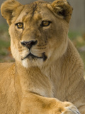 Portrait of a Female African Lion  Panthera Leo