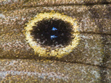 Close Up of the Scales and Eyespot on a Satyr Butterfly's Wing