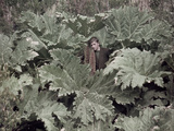 A Boy Stands Amid Huge Leaves of Chilean Gunnera Plants