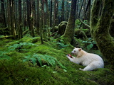A Kermode Bear Eats a Fish in a Moss-Draped Rain Forest