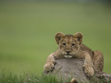 African Lion Cub  Panthera Leo  Lying across a Mound of Soil