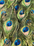 Close Up Male Indian Peacock Feathers  Pavo Cristatus