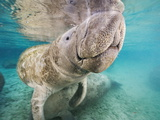 Close Up of a Florida Manatee  Trichechus Manatus Latirostris