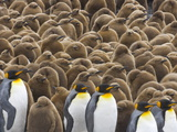 King Penguins and Chicks  Aptenodytes Patagonicus  in a Rookery
