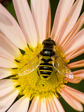 Hover Fly on Perennial Flower