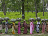 Women Workers Tote Freshly Picked Tea Leaves to Be Processed