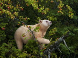 A Kermode Bear Climbs a Pacific Crab Apple Tree to Grab its Fruit