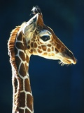 Head of a young giraffe