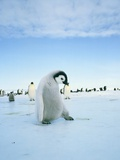 Young emperor penguin in front of a flock of penguins
