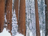Snow covered redwood trees in winter  Yosemite  USA
