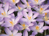 Flowers of Crocus