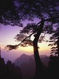 Huangshan Pine in the Huangshan Mountains