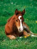 Quarterhorse  brown foal is lying in a meadow