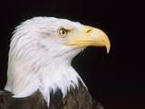 Head of an bald eagle