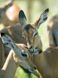 Two Impalas taking care of each other   Kruger National Park  South Africa