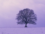Oak tree  winter landscape  Germany