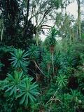 Lobelia plants in rainforest  Kenya  Northern Africa  Africa