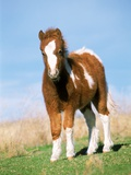Foal of a Pony standing in the meadow