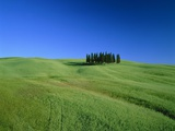 Cypresses on a field in the Tuscany