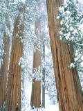 Redwood giants in winter  California  USA