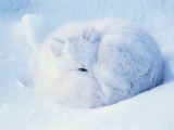 Sleeping Arctic Fox
