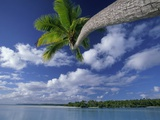 Coconut palm  One Foot Island  Aitutaki  Cook Islands