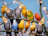 Canaries  budgies and cockatiels perched together