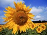Sunflower field  summer