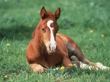 Young Horse Lying in Pasture