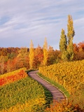 Vineyards and poplars in autumn