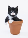 Kitten in Flower Pot