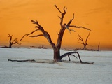 Dying trees at sunset