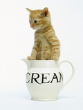 Orange Tabby in Creamer