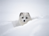 Arctic Fox Peeking Out of Snow
