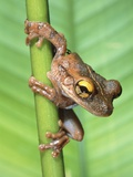 Bony-Headed Tree Frog